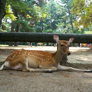 7月18日のできごと(何の日)【奈良公園】鹿の頭数が過去最高の1189頭に